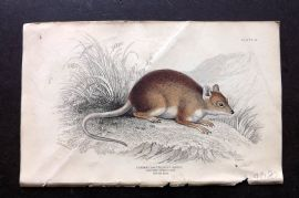 Jardine 1830s Hand Col Print. Longtoed Spinous Rat 25